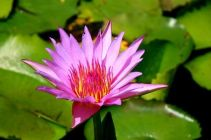 article-new_ehow_images_a06_70_r1_meaning-lotus-plant-800x800
