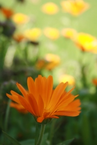 calendula worth it weight in gold
