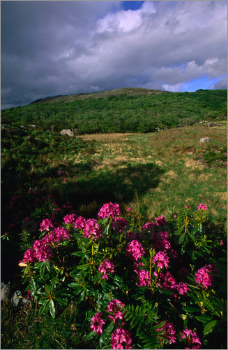 david-tipling-rhododendrons-rhododendron-in-the-green-fields-of-the-killarney-national-park-107293
