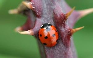 ladybird-thorny-branch
